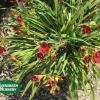Hemerocallis 'Cranberry Baby'