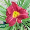Hemerocallis 'Red Landscape Supreme'