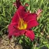 Hemerocallis Red Daylily