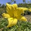 Hemerocallis Yellow Daylily