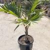 Hyophorbe Bottle Palm
