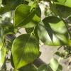 Dalbergia sissoo Rosewood
