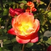Click Climbing Rose to view the product.