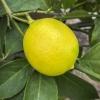 Lemonade Lemon
