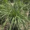 Lomandra longifolia Nyalla Mat Rush