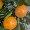 Clemnules Mandarin