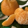 gold nugget mandarin