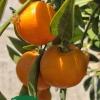Nova Mandarin