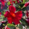 Mandevilla Bella Compact Red
