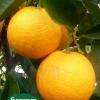 olinda valencia orange