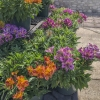 Click Peruvian Lily to view the product.