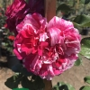 Click Raspberry Cream Twirl Climbing Rose to view the product.