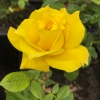 Rose Anthony Meilland