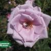 Rose 'Blue Moon'