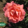 Rose 'Cherish'
