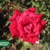 Rose 'Christian Dior'