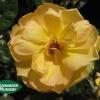 Rose 'Gold Glow'