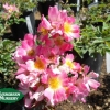 Rose groundcover 'Coral Drift'