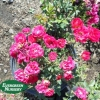 Rose groundcover 'Red Drift'