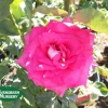 Rose 'Peter Mayle'