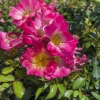 Click PINK DRIFT GROUNDCOVER ROSE to view the product.