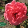 Rose 'Queen Elizabeth'