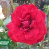 Rose 'Scarlet Knight'