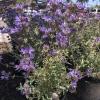 Salvia Pozo Blue Grey Musk Sage