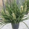 <em>Edit Products</em> SANSEVIERIA 'Fernwood Mikado'