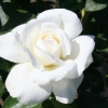 Rose Sugar Moon