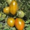 tumbling tiger tomato