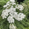 Click New Vintage White Yarrow to view the product.