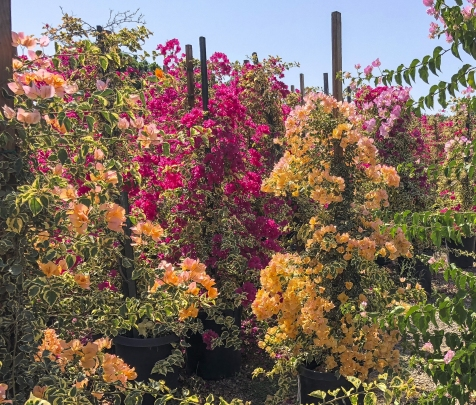Evergreen Nursery Bougainvillea vines