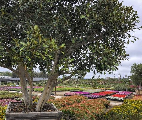Evergreen Nursery San Diego S Largest Wholesale Nursery