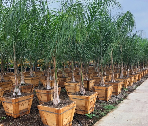 Queen Palm rows at Evergreen Nursery