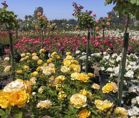 Evergreen Nursery Yellow and Red Rose bed