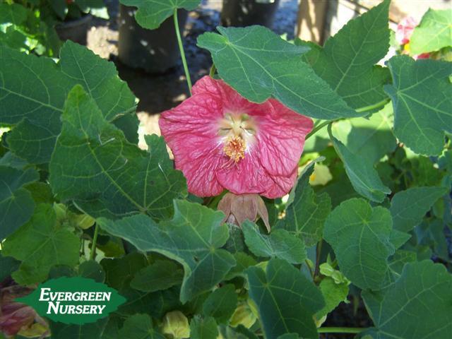 Abutilon Hybridum Evergreen Nursery