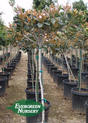 Rhaphiolepis Majestic Beauty Patio Tree Evergreen