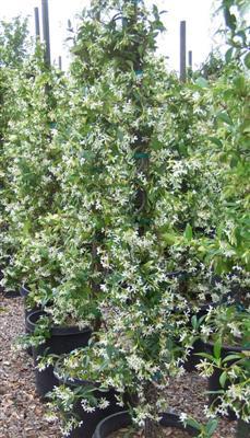 Trachelospermum Jasminoides Staked Evergreen Nursery