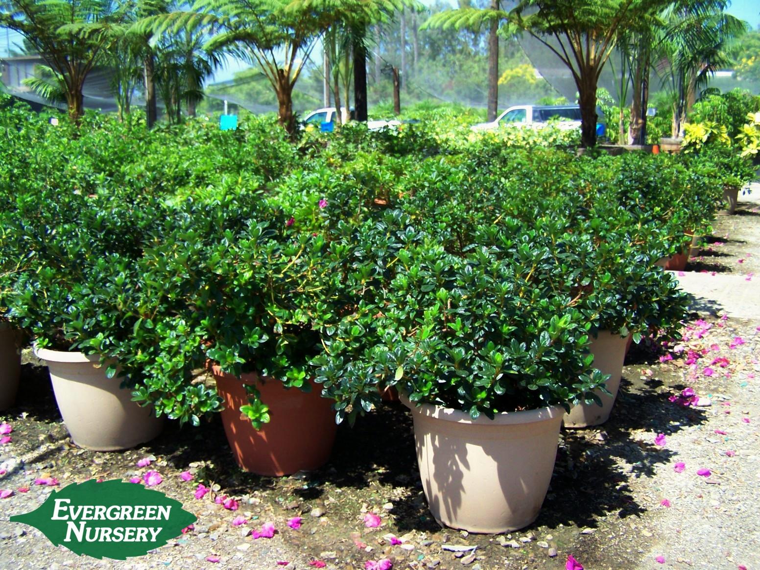 Camellia Azalea Amp Gardenia Evergreen Nursery