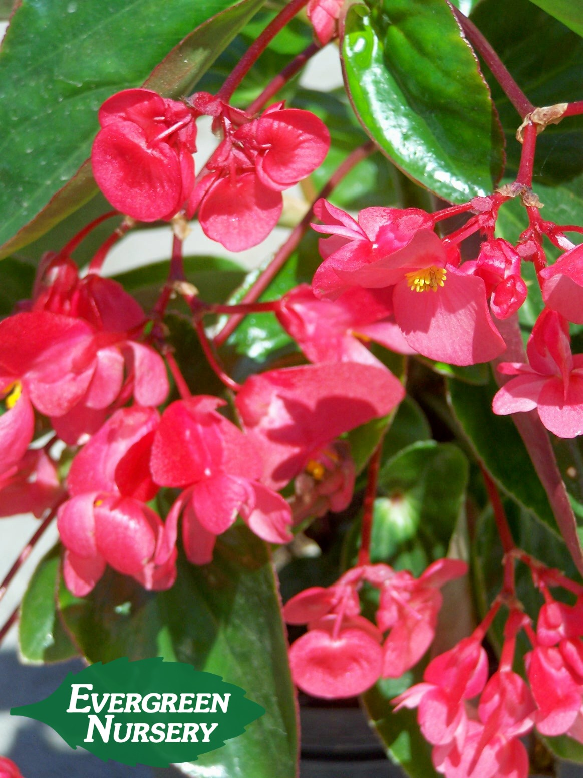 Blooming Ground Cover Full Sun: BEGONIA DRAGON WING