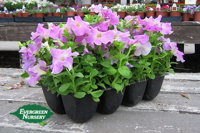 evergreen nursery 8 pack color